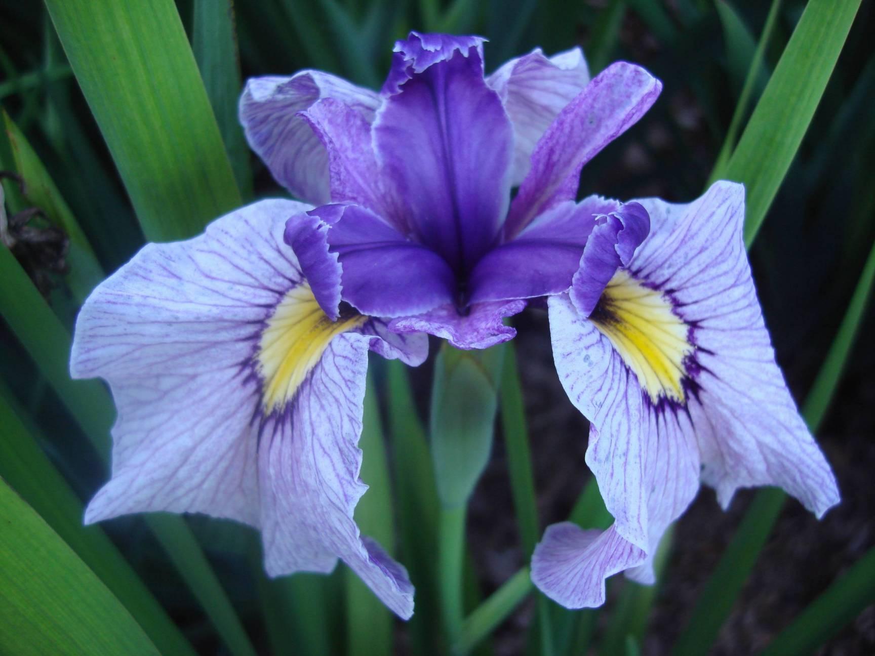 Draycott gardens beardless irises from carol warner m izmirmasajfo